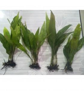 Java Fern trident plant 4 pcs